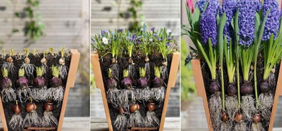 Цветовод посадила луковичные цветы необычным способом… И вот что у нее вышло!