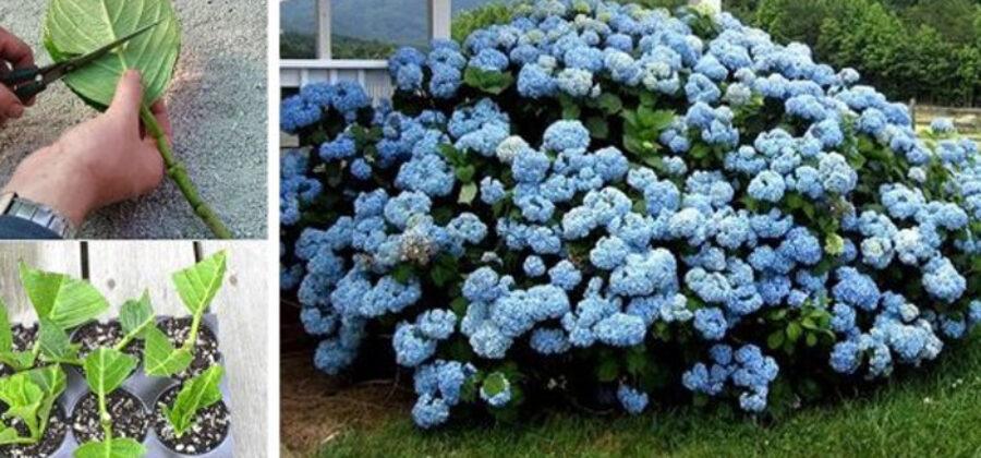 «Цветок — фиолетовое солнце» покорил мое сердце… Теперь весь сад в них!
